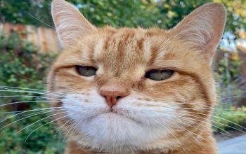 تمام گربه های زنجبیلی، نر نیستند!